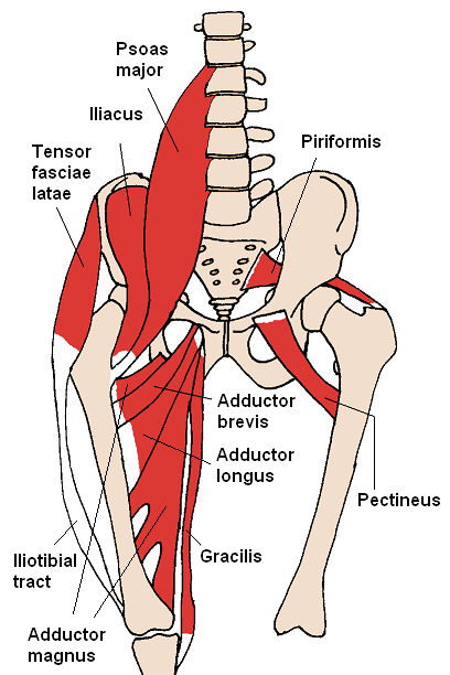 diagram of the anterior muscles of the hip and inner thigh